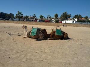 Chameaux à la plage.