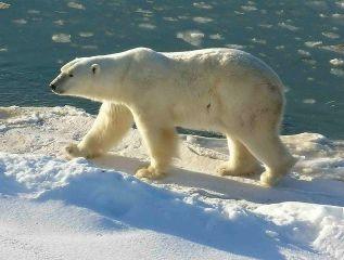 634px-Polar_Bear_2004-11-15