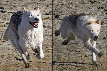 loup-qui-court-et-paf-le-loup